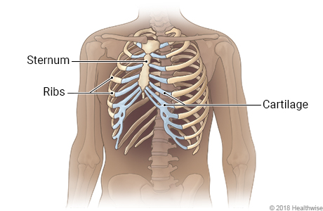 The Anatomy of the Ribs